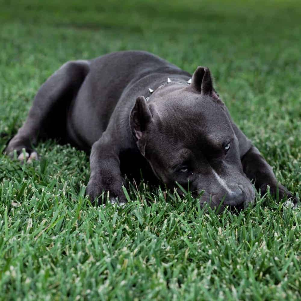 How Much Does an American Bully Cost?   My Bully Shop