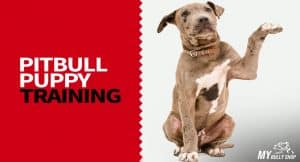 Training Your Pitbull