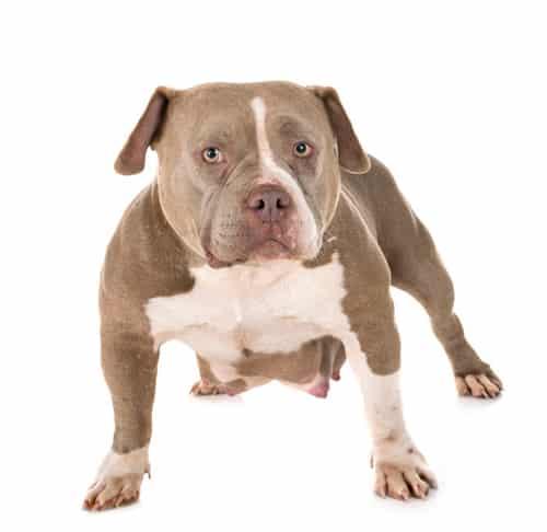 bullydog frmsle   bully dog female
