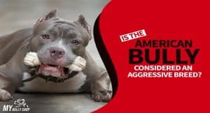 bully is not aggressive breed
