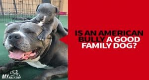 American bully family dog