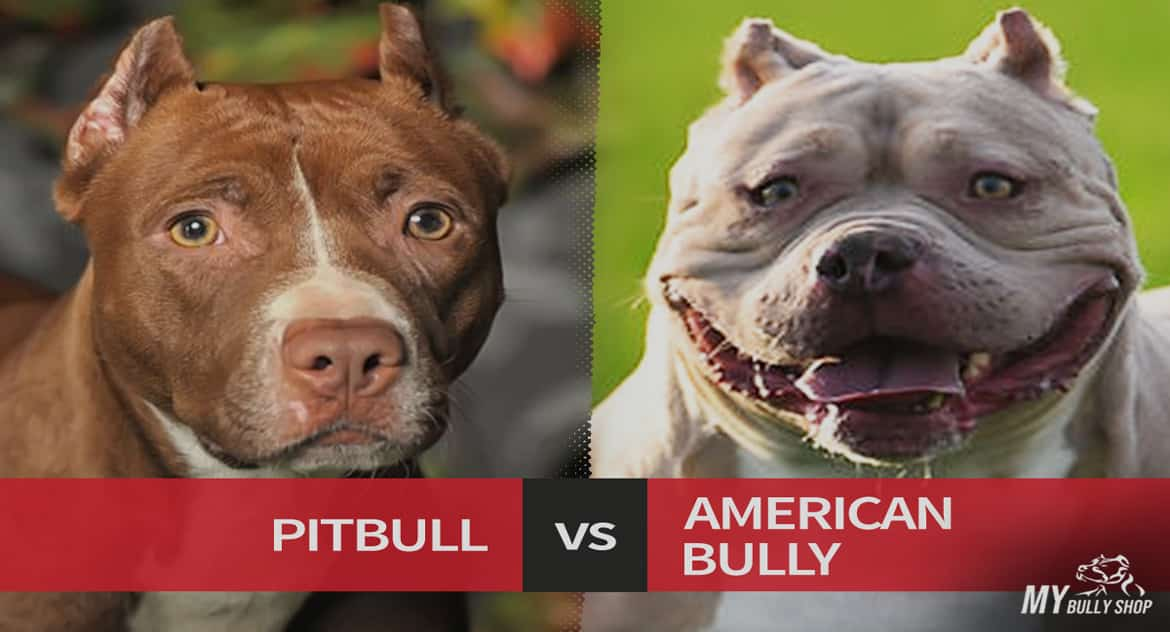 How Much Does An American Bully Cost My Bully Shop