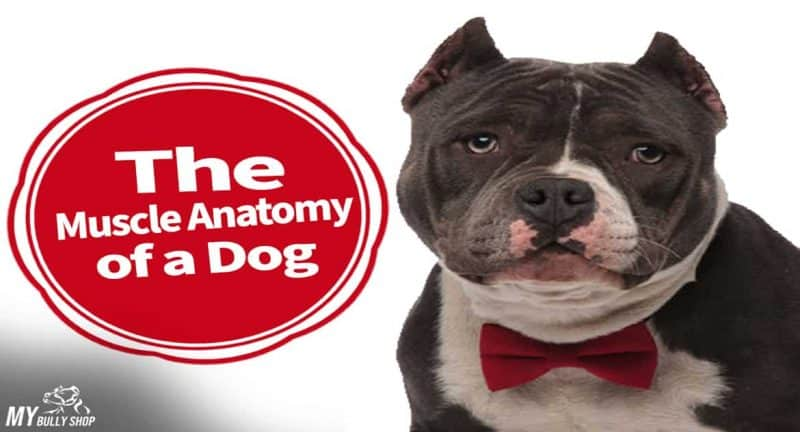 dog muscle anatomy