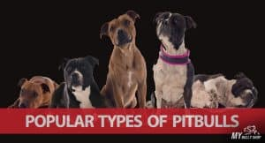types-of-pitbull-breeds |