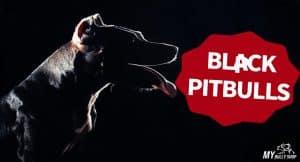 BLACK-PITBULLS |