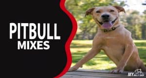 Pitbull mixes