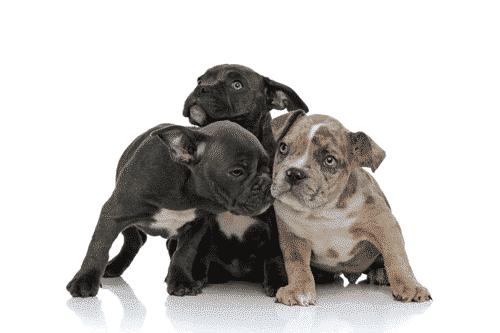 pockeet-bully-puppies |