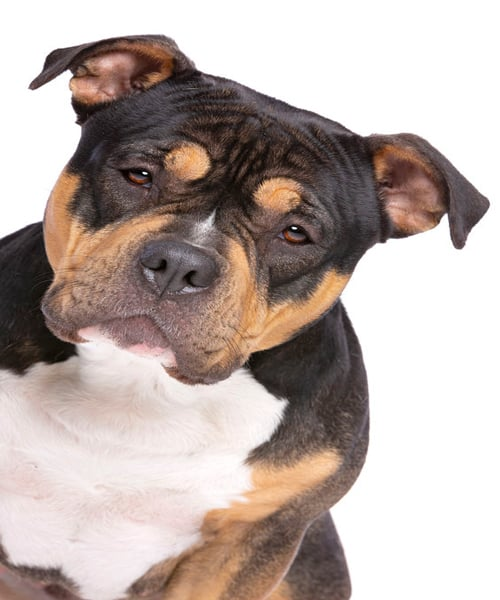 tricoloramericanbully | tricolor american bully