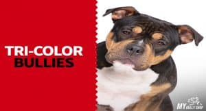 tricolorbully | tricolor bully