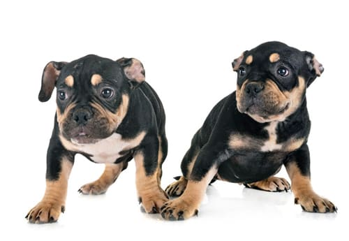 tricolorbullypuppies | tri color bully puppies