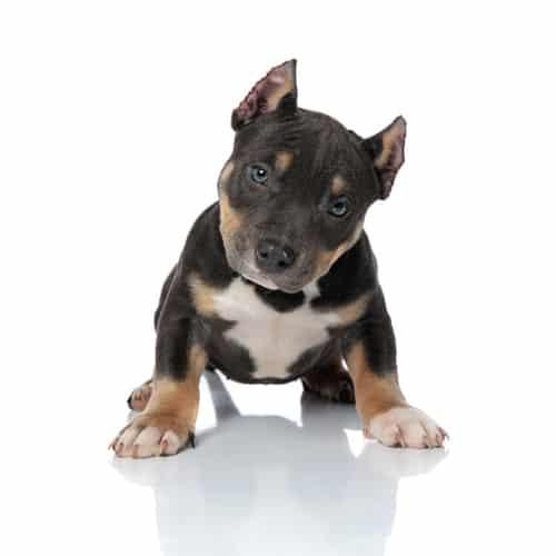 tricolorpuppy | tri color puppy