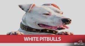 white-pitbulls |