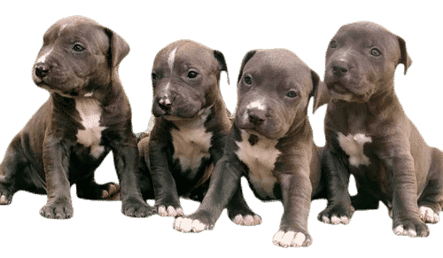 American bully puppies 2 month old   American bully puppies 2 month old