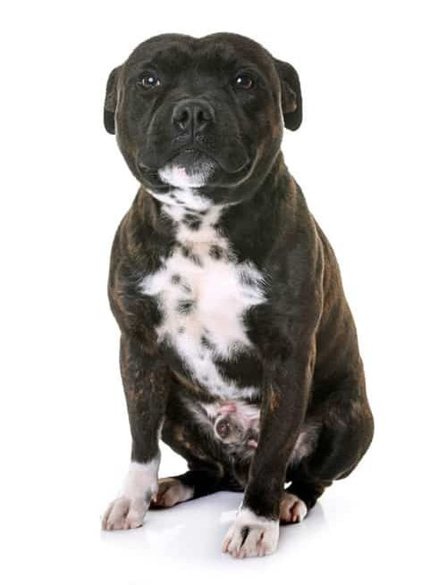 StaffordshireBullTerrier | cute Staffordshire Bull Terrier sits