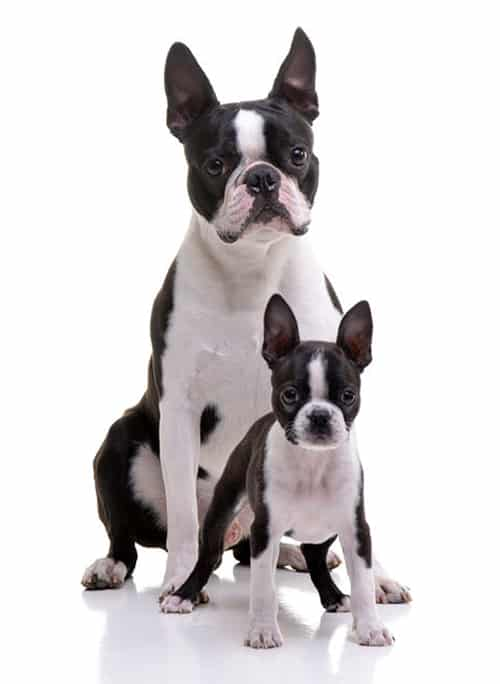 boston terrier family