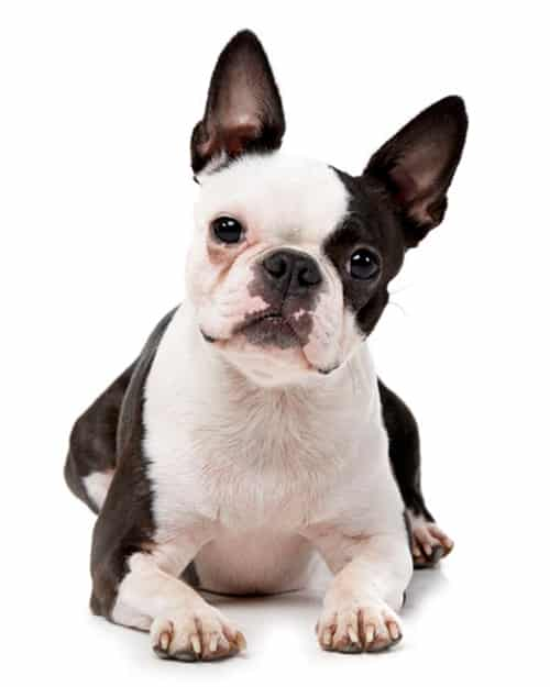 boston terrier laydown