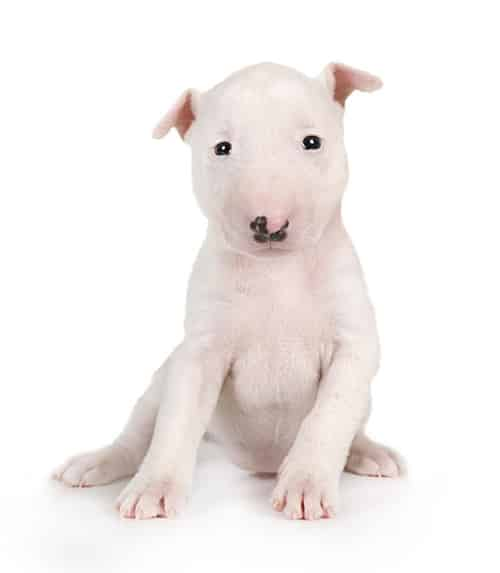 bull terrier. puppy