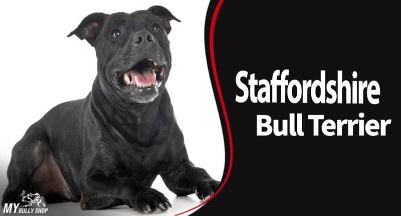 Staffordshire bull terrier information