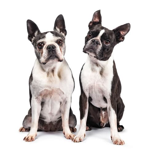 2 Boston terrier sit